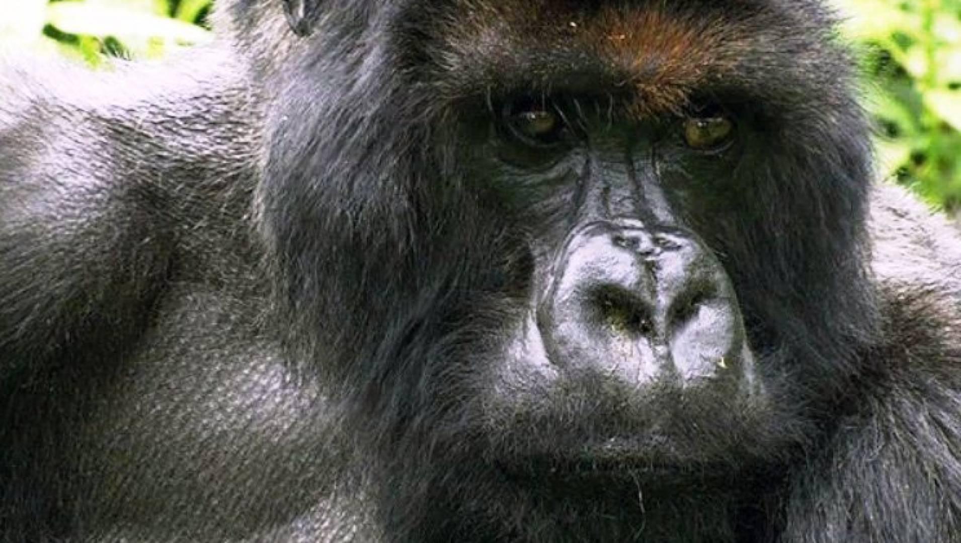Горные гориллы - Документальный фильм