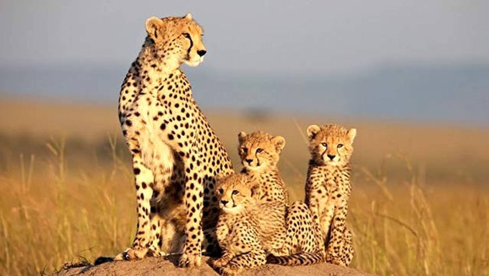 Африканские кошки: Королевство смелых - Документальный фильм