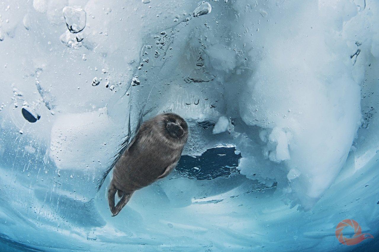 «Кадр был сделан во время ледовой экспедиции по наблюдению за поведением байкальской нерпы. В конце февраля-начале марта в торосах, в «надёжных ледовых квартирах», у нерпы рождаются детеныши-бельки, но увидеть их на льду можно только через месяц, когда белёк уже начинает линять и превращается в серка. К этому времени он уже набрал значительный вес за счет жирного молока матери и умеет прекрасно плавать. Но в уютных коридорах своего дома чувствует себя гораздо увереннее и спокойнее». Подлёдная съемка, температура воды 0°C. Белёк байкальской нерпы, эндемик. Озеро Байкал. Автор — Ольга Каменская