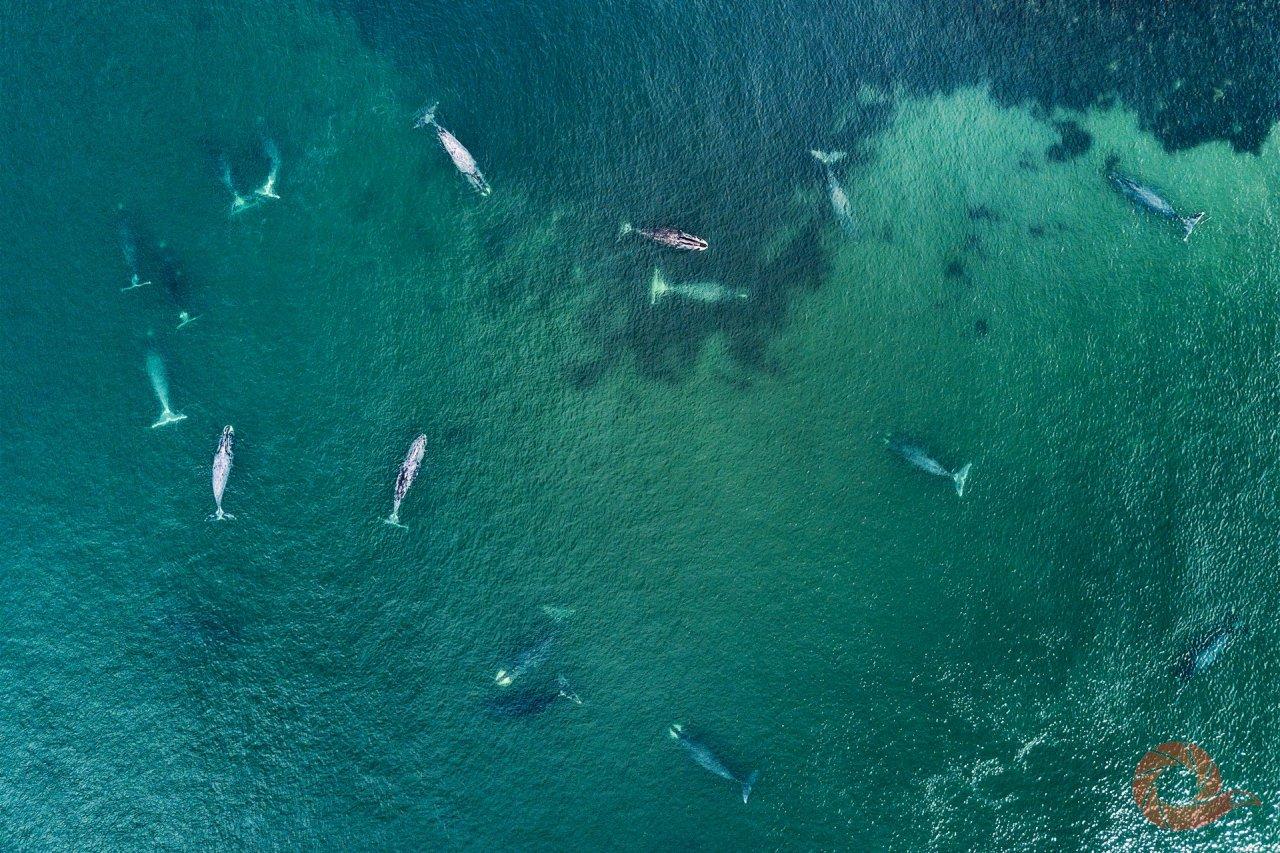 Бухта Врангеля в Охотском море служит прибежищем для гренландских китов, одних из самых больших в мире: они достигают 20 метров в длину, а живут по 200 лет. Киты собираются здесь большими группами. И иногда «выстраиваются» в интересные формации. Например, эти 17 китов образовали форму сердца. Автор — Сергей Доля