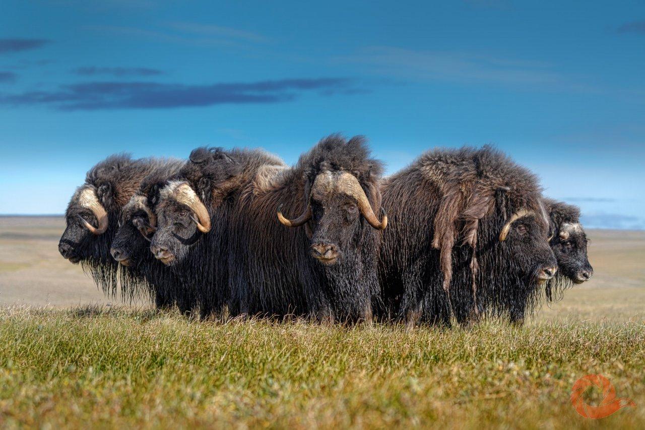 При опасности овцебыки (Ovibos moschatus) собираются в каре — это настоящая круговая оборона, которая позволяет животным противостоять хищникам, которые пытаются на них охоться. Взрослые животные, самцы, собираются в круг, при этом молодежь и самки оказываются в его центре. Таким образом стадо обороняется от волков — естественных врагов этих животных в тундре. Осаду могут держать так сутками. Полуостров Таймыр. Автор — Виталий Горшков