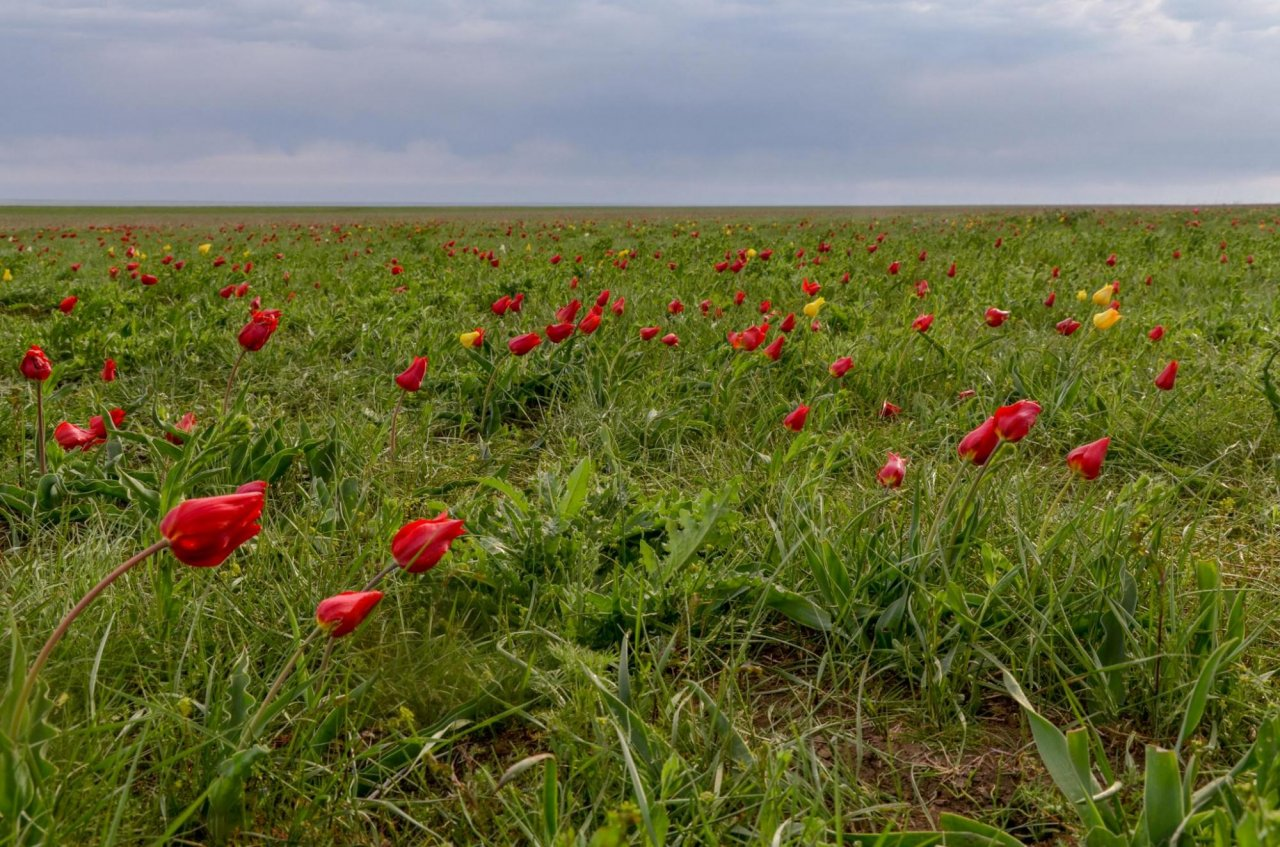 Цветущие тюльпаны у озера Маныч-Гудило. Фото: Serj Malomuzh / Shutterstock
