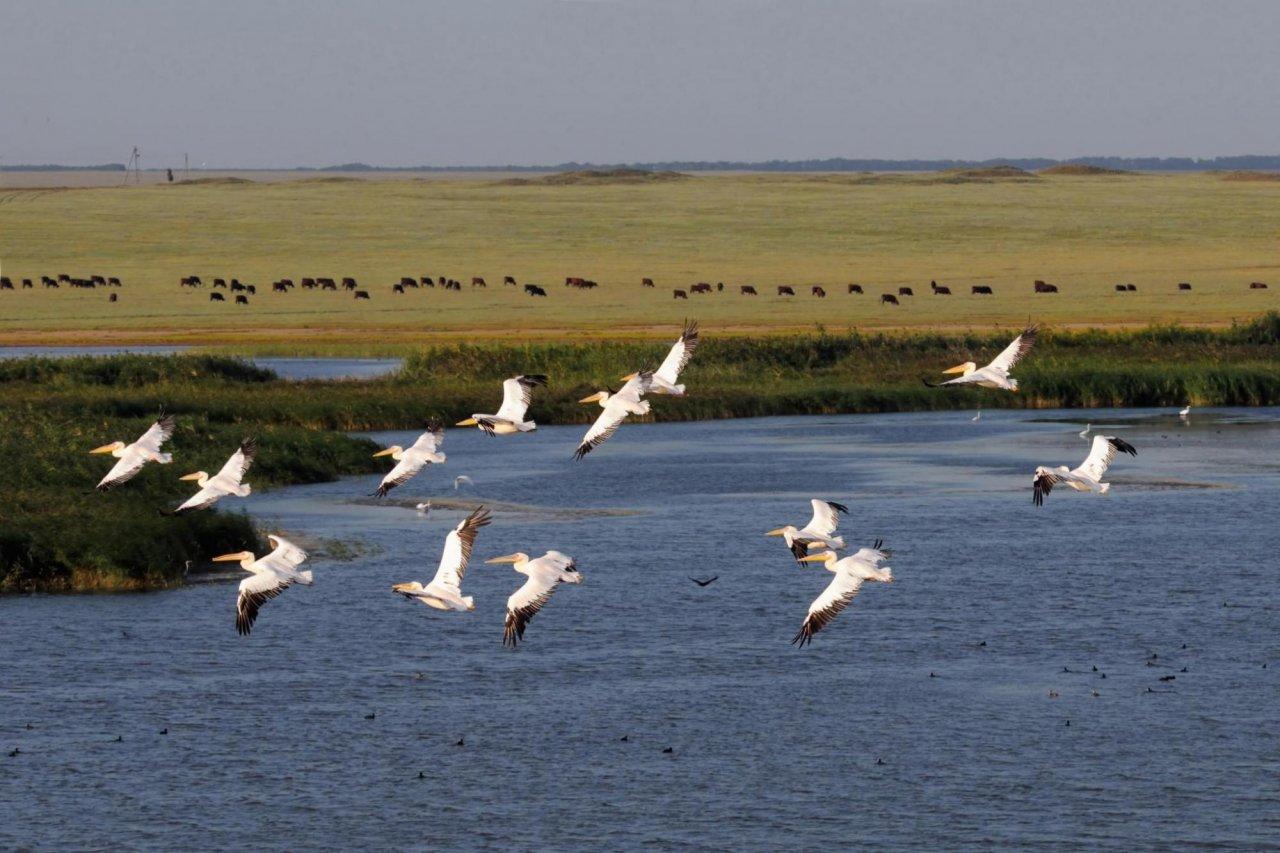 Белые пеликаны в заповеднике «Чёрные земли». Фото: Victor Tyakht / Shutterstock