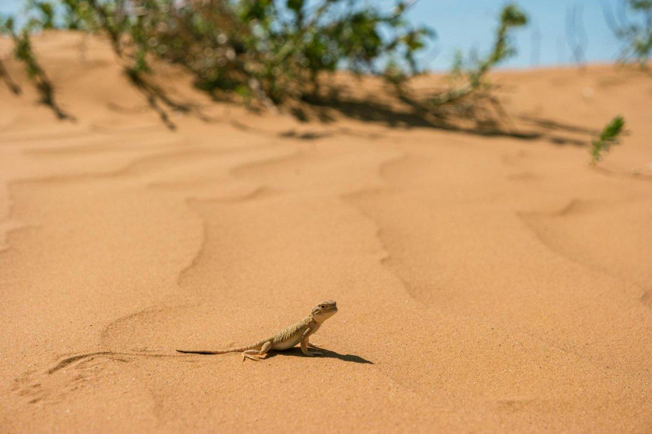 Ушастая круглоголовка в калмыцкой пустыне. Фото: Serj Malomuzh / Shutterstock