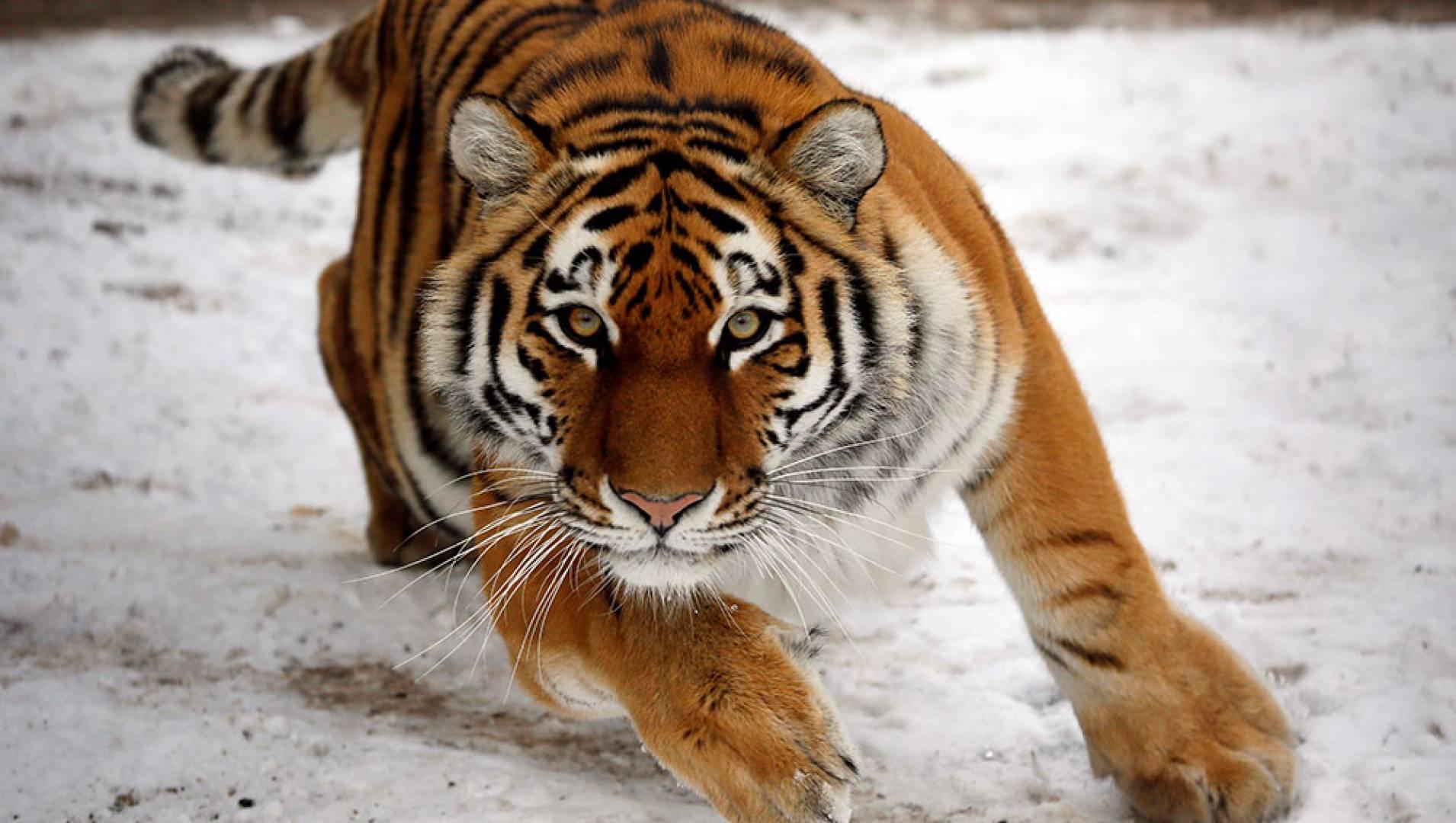 Люди и тигры - Документальный фильм